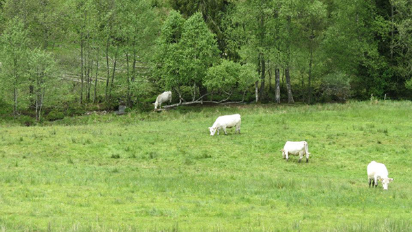 Titisee-cow